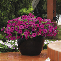 Petunia Plants - Purple Wave