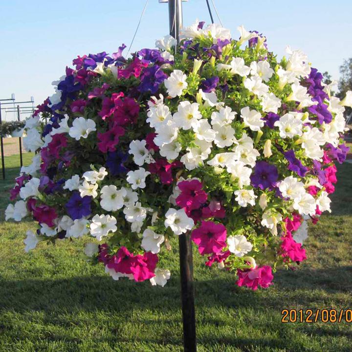 Hanging Basket - Petunia Surfinia Large Flowered Mix
