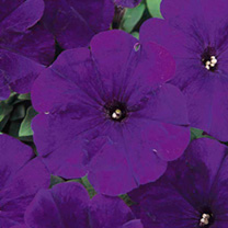 Petunia Seeds - Carpet Series BLUE