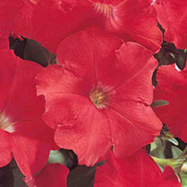 Petunia Carpet Series Seeds - Red