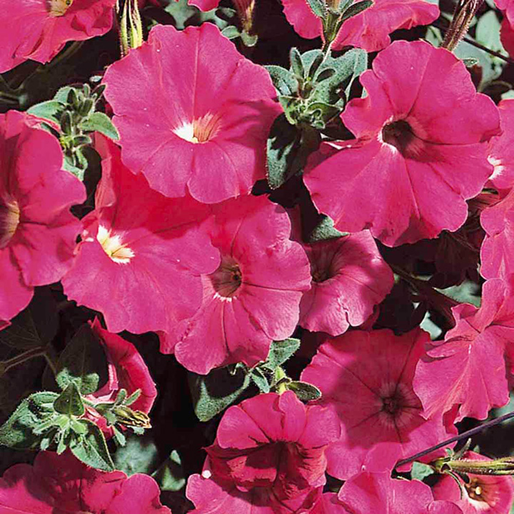Petunia Carpet Series Seeds - Rose