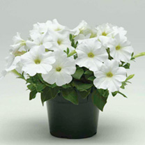 Petunia Seeds - Carpet Series WHITE