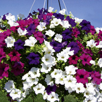 Petunia Plants - Surfinia Larger Flowered Mix
