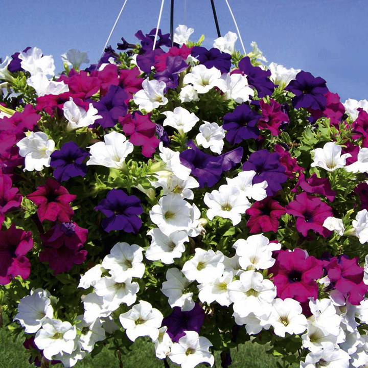 Petunia Plants - Surfinia Large Flowered Mix