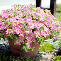 Petunia Surfinia Plants - Green Edged Pink