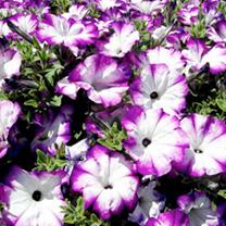 Petunia Plants - Sanguna Twirl Purple