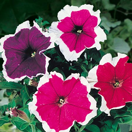 Petunia Picotee Mixed Colours F1 Seeds Average Seeds 130