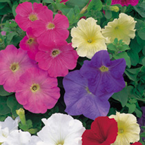 Petunia Plants - F1 Select Mix