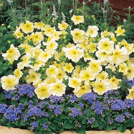 Petunia Prism Sunshine F1 Seeds Average Seeds 100