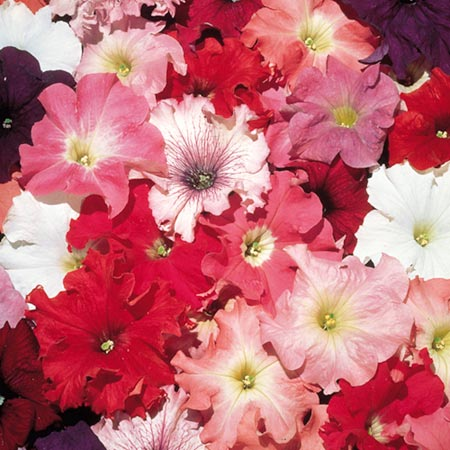 Petunia Aladdin Mixed F1 Seeds Average Seeds 140