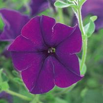 Petunia Surfinia Plants - VIOLET