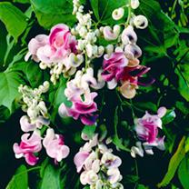 Phaseolus Seeds - Caracalla
