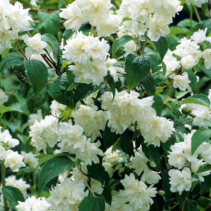 Philadelphus plant virginal trees and shrubs flowers for Flowering landscape plants