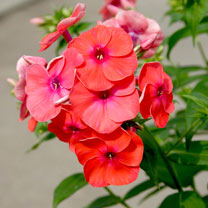 Phlox Plant - Flame Coral