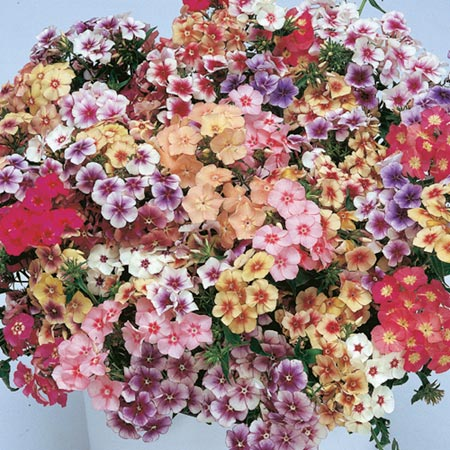 Phlox drummondii Seeds - Tapestry Mixed