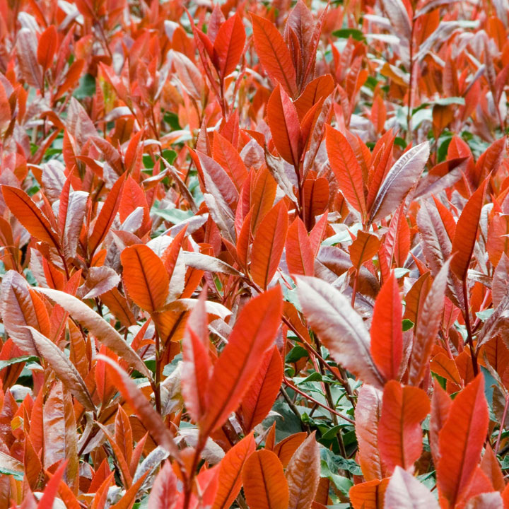 Photinia Plant - Red Robin