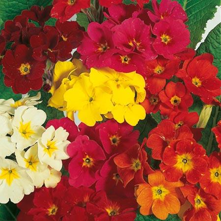 Polyanthus Seeds - Dobies Superb Mixed