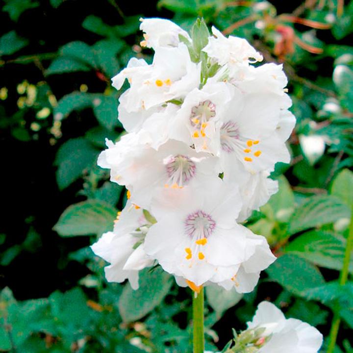 Polemonium Plant - Alba