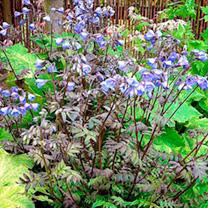 Polemonium Plant - Heaven Scent