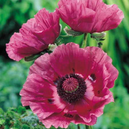 Poppy Plants - Patty's Plum