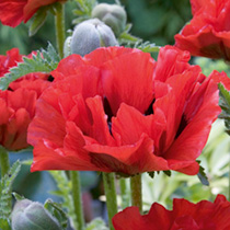Poppy Plants - Collection