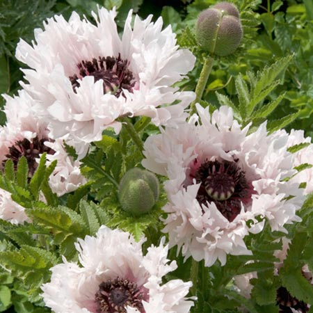 Poppy Plants - Miss Piggy