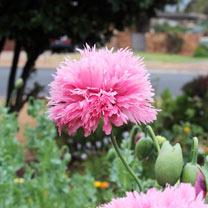Poppy Seeds - Peony Mixed