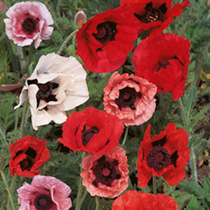 Poppy Mixed Plants