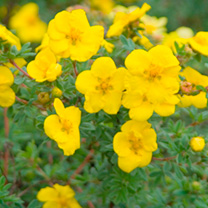 Potentilla Plant - fruticosa Yellow