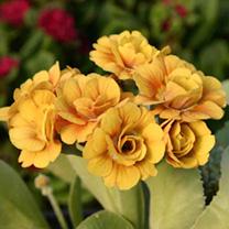 Primula auricula Plants - Shaun