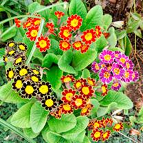 Primula Plants - Victorian Laced Mix