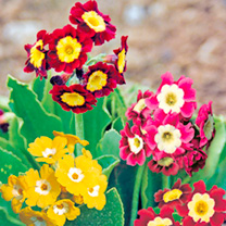Primula Plants - Clown Face Mix