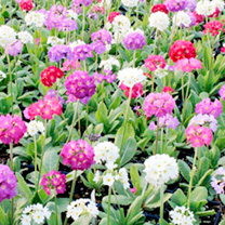 Primula Plants - Pompon Mix