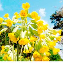 Wild Primrose (Primula vulgaris) & Cowslip (Primula veris) Mix Plants