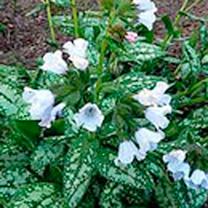Pulmonaria Plant - Opal