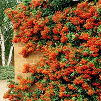 Pyracantha Plant - Orange