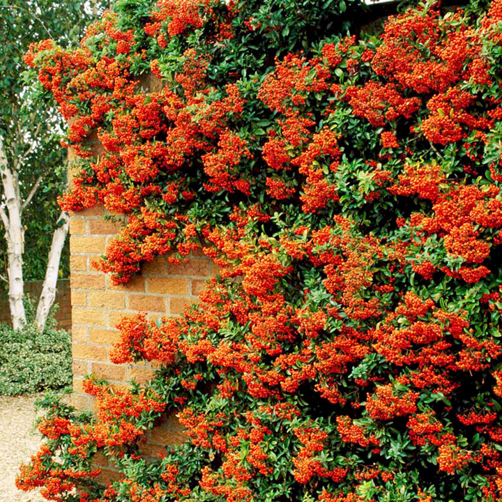 Pyracantha plant orange trees and shrubs flowers for Piracanta pianta