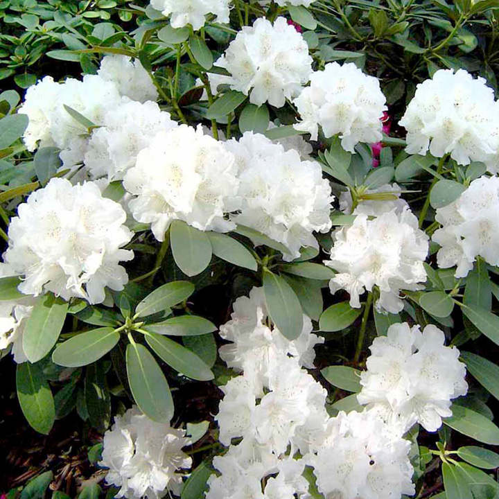 rhododendron plant cunningham 39 s white trees and shrubs. Black Bedroom Furniture Sets. Home Design Ideas