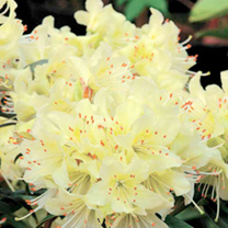 Rhododendron Plant - Princess Anne