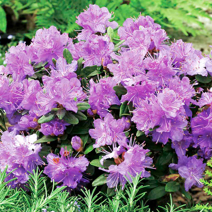 Home Garden Flowers Trees And Shrubs Rhododendron Dwarf Plant Ramapo