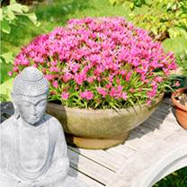 Rhodoxis Plant - Fairytale