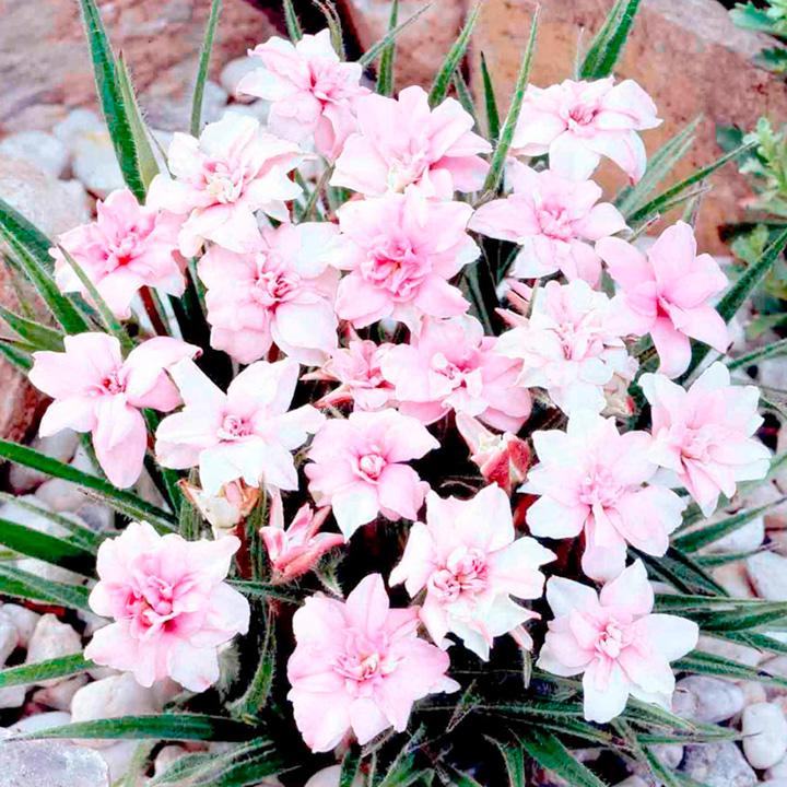 Rhodohypoxis Plant - Lily Jean