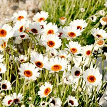 Rhodanthemum Plant - Africa Spring