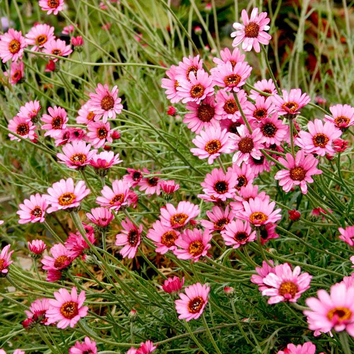 Rhodanthemum Plant - Pretty in Pink