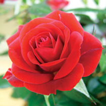 Rose Plant with trellis - Love Knot + FREE Fertiliser