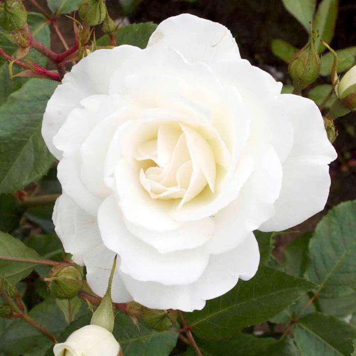 Rose Plant - Iceberg