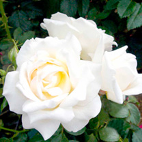 Rose Mini-Standard Plant - LUCKY DIP