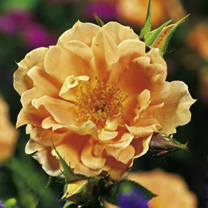Rose Plant - Bridge of Sighs