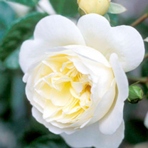 Rose Plant - Perpetually Yours