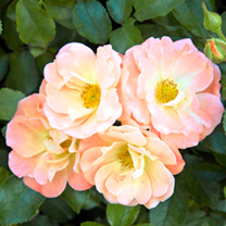 Drift Rose Plants - Peach